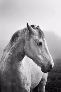 Beautiful photograph of a white horse by Tom McDonnell. Black and white photos make a great statement piece in a minimalist interior design.