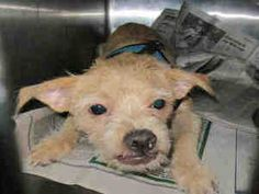 TOBY is an adoptable young male Terrier Dog in Baldwin Park, CA.  Pet ID A4607026. L.A. County Animal Care & Control: Baldwin Park