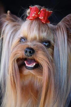 out additional relevant information on Yorkshire Terriers., Figure out additional relevant information on Yorkshire Terriers.,Figure out additional relevant information on Yorkshire Terriers. Yorkshire Terrier Haircut, Yorkshire Terrier Puppies, Yorshire Terrier, Silky Terrier, Top Dog Breeds, Yorky, Rottweiler Puppies, Beagle, Poodle Puppies