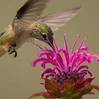 This article provides tips and instructions for how to prune Bee Balm Monarda Plants