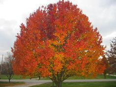 Maple Tree - I want one that's visible from my kitchen window.