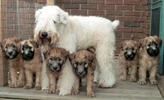 s Soft Coated Wheaten babies! I love how the babies are born darker then lighten with age! Cute Puppies, Cute Dogs, Dogs And Puppies, Doggies, Wheaten Terrier Puppy, Dog Names, Beautiful Dogs, Dog Life, I Love Dogs