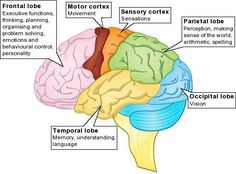 Diagram of the human brain with its respective parts.   YW helps ...