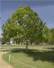 American Sycamore.  Fast growth up to 6 ft a year.  Excellent shade tree, adaptable to most soils.  Thrives in both warm and cold climates.  Grows just about anywhere.