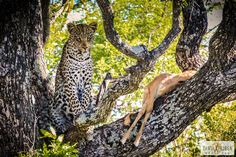 Beautiful Leopard keeping an eye on Lunch - South Africa - travel blog - earthXplorer - travel video - photography