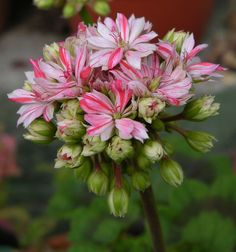 Gorgeous Pelargonium 'Mallorca'