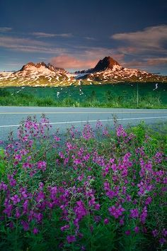 Wildflowers on the side of the highway near the Chugach Mountains in Alaska, USA