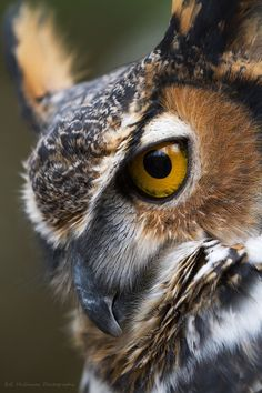 great horned owl portrait | birds of prey + wildlife photography