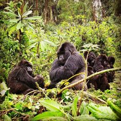 V MOUNTAIN GORILLAS - 2 at 460 lbs. each of Silver-backed gorillas found in the dense bushes of the Virungas equatorial forest in Rwanda.