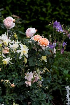 David Austin 'Abraham Darby' rose among self-sown yellow and purple Aquilegia. Small Space Gardening, Garden Spaces, Cherry Laurel Hedge, Abraham Darby, Lomandra, Jude The Obscure, Australian Garden, Deciduous Trees, David Austin