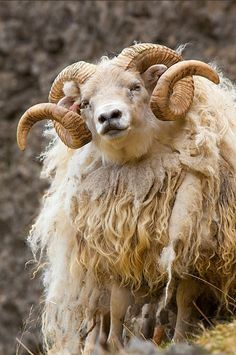 Icelandic sheep, in southern Iceland by Jim Zuckerman