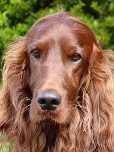 Bentley Carson - our beautiful red setter