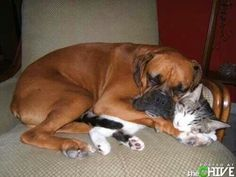 Boxer kitten cuddling