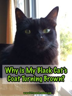 Why is My Black Cat's Coat Turning Brown? You may have noticed that your black cat looks brown or reddish in the sunlight, or even has some brown/red spots in their coat. There are a few different reasons for this change in fur color. Cat Friendly Plants, Adventure Cat, What Cat, Like A Cat, Cat Health, Health Care, Cat Facts, Love Languages, Cool Cats