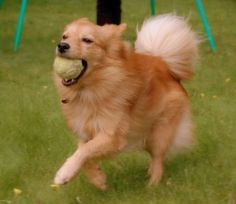 Photo of Finnish Spitz with ball - Pet Quest