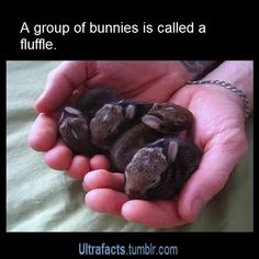 Baby bunnies are the key to happiness. I have 2 baby bunnies that were born in December, the rest of the litter died but I love bunnies! Cute Creatures, Beautiful Creatures, Animals Beautiful, Baby Bunnies, Cute Bunny, Bunny Rabbits, Dwarf Bunnies, Baby Pandas, Tiny Bunny