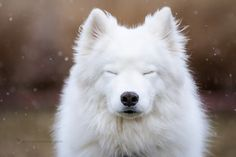 Leika Meditating in the Snow by ericbphotoworks (Leika is a 4 year old samoyed taking a moment to just enjoy)