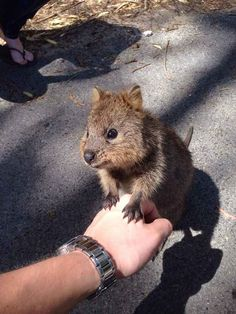 And best of all, quokkas just want to be your BFF! BuzzFeed: 17 Reasons Why 2015 Will Be The Year Of The Quokka