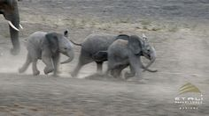 After a long hot day in the Madikwe Game Reserve these three baby elephants can't wait to get to the waterhole first!