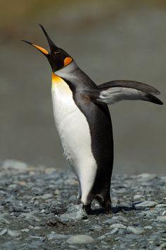 King Penguin, Aptenodytes patagonicus halli, adult | Buckles Bay Beach, Macquarie Island, Australia