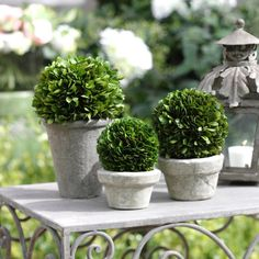 "Boxwood Potted Ball Topiary - Real Preserved Boxwood Topiary - Small Dimensions: 4"" x 5.5"" - Medium Dimensions: 4.75"" x 6.75"" - Large Dimensions: 5.25"" x 9.75"" - Imported"