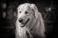 Barney the Golden Retriever by Jon Hayward Pet Photography