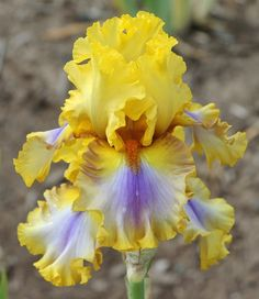 TB Iris germanica 'Good Morning Sunshine' (Johnson, 2014)