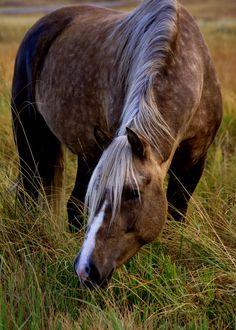 Palomino Morgan Horse