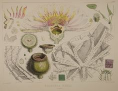 William Jackson Hooker, ANALYSES from Victoria regia; or Illustrations of the Royal Water-Lily, 1851. Hand-colored lithograph by Walter Hood Fitch. Wellesley College Library, Special Collections.