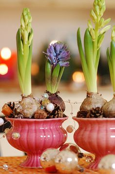 Hyacinthes by jasna.janekovic, via Flickr