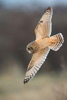 Short-eared Owl (9268)   Paul Bannick
