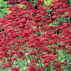 "Centranthus ruber Coccineus (Jupiter's Beard)...attracts butterflies (and we've seen hummingbirds on ours!)  ht 18-24"" spacing 18"" Full sun. Blooms June-August.  Zones 3-7.  Prefers alkaline, well, drained soil.  Cut flowers last about a week, and cutting stimulates re-bloom.  Rarely troubled by disease or pests.  I've found I've had to stake mine as the summer wears on.  (www.growingforyou.com)"