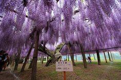 Kawachi wisteria garden, Fukuoka, Japan Wisteria Japan, Wisteria Garden, Brick Wall, Fukuoka Japan, Backyard, Nihon, World, Awesome, Beauty