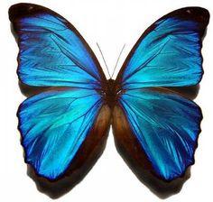 Blue Morpho Butterfly.