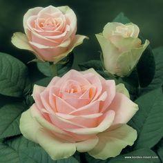 ~La Belle Rose