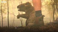 Australia, Bbc News, Animal Kingdom, Creatures, Horses, Animals, World, Feral Cats, Red Fox