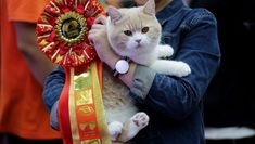 In terms of membership, TICA is open to receiving applications from established breeders, cat show exhibitors, and anyone who considers themselves a feline lover. Pet News, Picture Credit, Cat Facts, All About Cats, Domestic Cat, Cat Breeds, The Fosters, Kittens, Things To Come