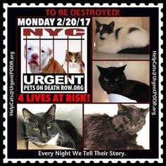 """TO BE DESTROYED 02/20/17 - - Info     Please share View tonight's list here: http://nyccats.urgentpodr.org/tbd-cats-page/. The shelter closes at 8pm. Go to the ACC website( http:/www.nycacc.org/PublicAtRisk.htm) ASAP to adopt a PUBLIC LIST cat (noted with a """"P"""" on their profile) and/or … CLICK HERE FOR ADDITIONAL…Please...-  Click for info & Current Status: http://nyccats.urgentpodr.org/to-be-destroyed-020417/"""