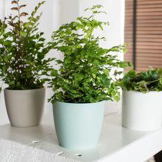 Tiny Boston Fern Plants Patch