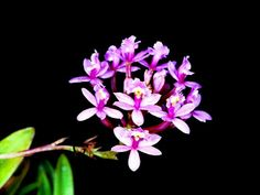 Epidendrum secundumRose Color-form of Epidendrum secundum