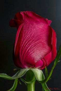 Most up-to-date Images Hybrid Tea Roses bud Strategies Multiple tea would be the most ancient gang of tulips considered contemporary back garden roses. Red Flowers, Pretty Flowers, Red Roses, My Flower, Flower Power, Trees To Plant, Plant Leaves, Rose Pictures, Hybrid Tea Roses