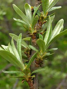 Tyrni, Hippophae rhamnoides - Puut ja pensaat - LuontoPortti