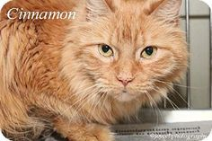 Media, PA - Domestic Longhair. Meet Cinnamon ( NO FEE ! ), a cat for adoption. http://www.adoptapet.com/pet/12926481-media-pennsylvania-cat
