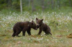 """Questi due cuccioli sembrano impegnati in una danza, in realtà giocano in un radura finlandese. Gli scatti del fotografo olandese Harry Eggens, visti in sequenza, sembrano infatti dar vita a un ballo. """"Questi orsetti - ha spiegato il fotografo olandese - come tutti i cuccioli, aman"""