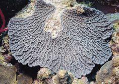 #mycetophyllia ferox #corail cactus rugueux