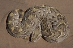Did you know the puff adder bites the most people in Africa!
