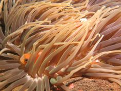 Nemo in his anemone. Dive in Bali and stay at Villa Tengguli www.villatengguli.com