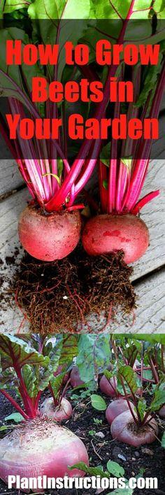 Comment faire pousser vos betteraves #betteraves #jardin #jardinage #garden #gardening #beets #howto #comment #été #summer