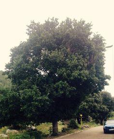 Haritza. Quercus robur