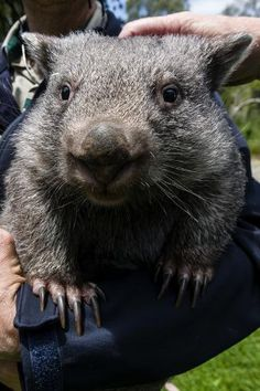 size: Photographic Print: A Zoo Keeper Holds a Common Wombat for Visitors to Pat and Caress by Jason Edwards : Common Wombat, Creature Picture, Zoo Keeper, Aquaponics Fish, Find Art, Framed Artwork, Creatures, Bear, Animals